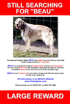still searching for beau, stolen dog, english setter, help find beau