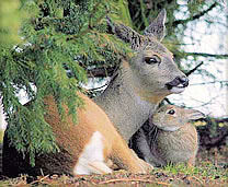 Friendship between a deer and a rabbit