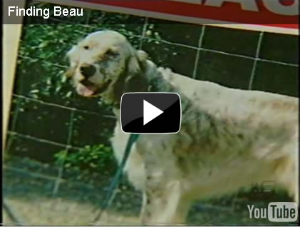 gold coast channel 9 news, finding beau, stolen dog, english setter