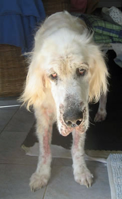 hobson, english setter, hemangiosarcoma